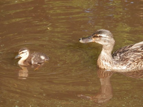 Mommy Duck and Baby Duck Nearby