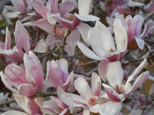 Our Beautiful Magnolia Tree