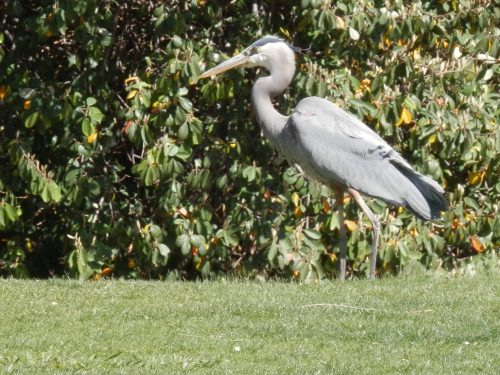 A Beautiful Great Blue Heron Visits our Resort
